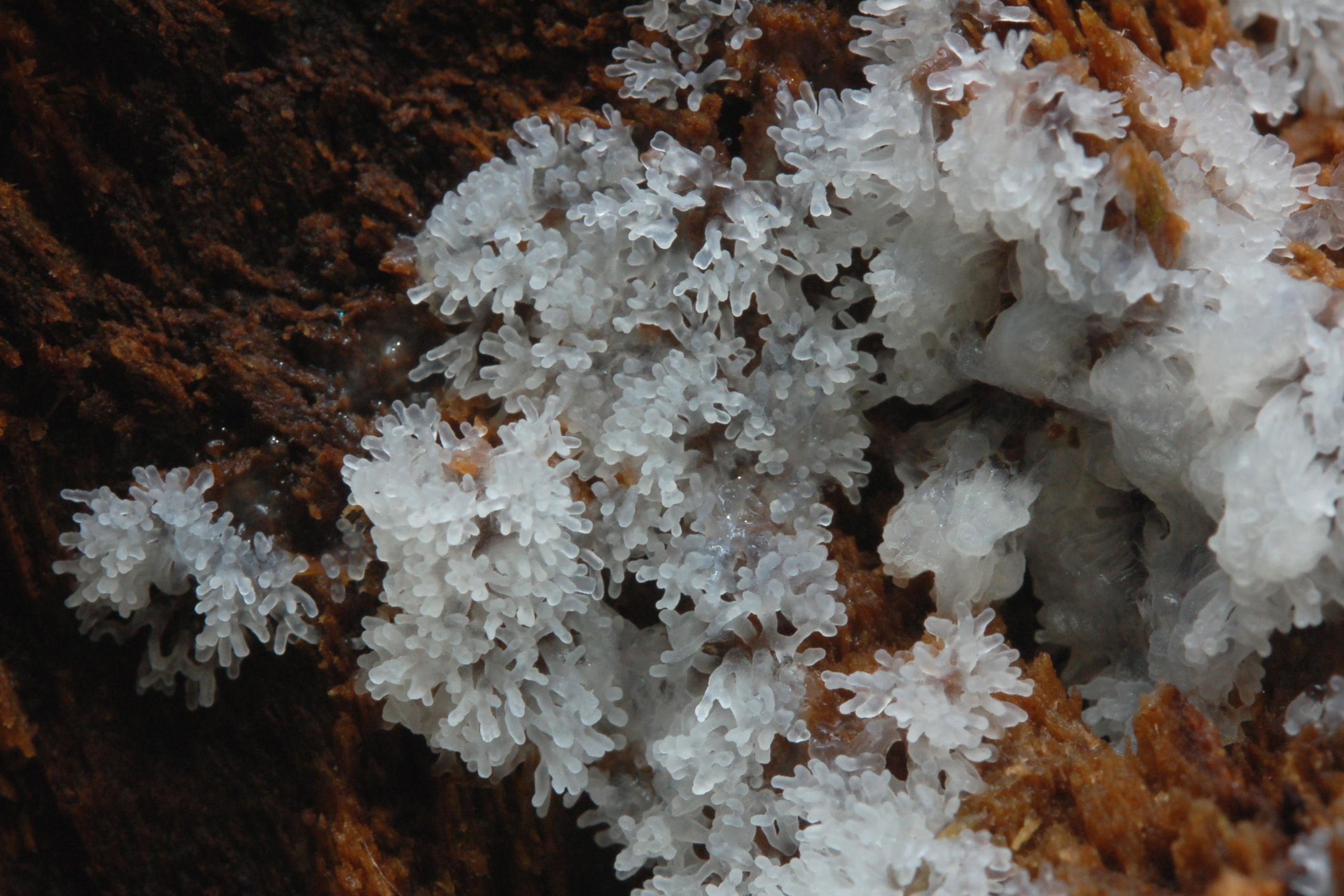 Ceratiomyxa frutucilosa