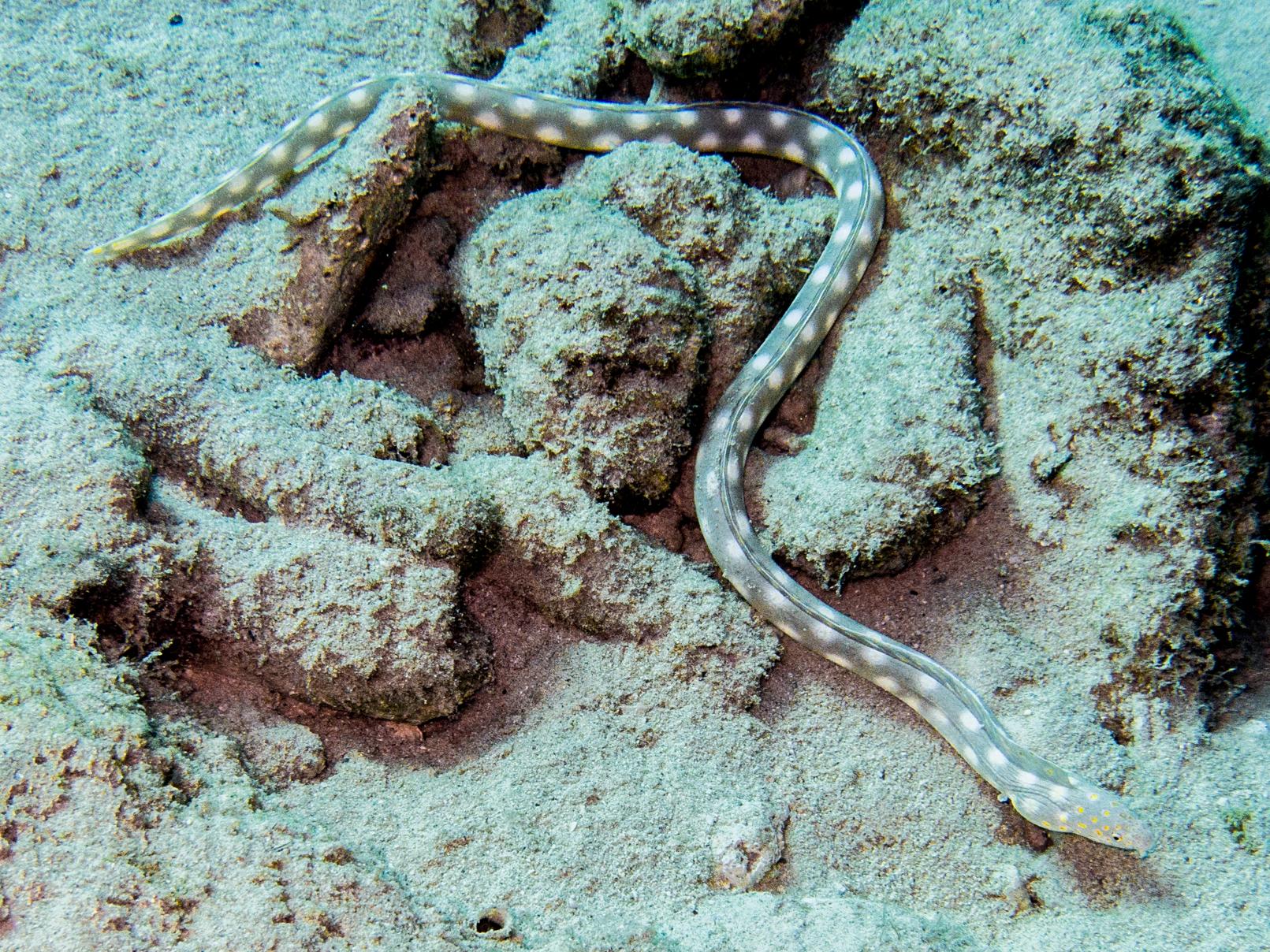 Myrichthys breviceps