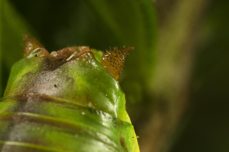 Steropleurus recticarinatus