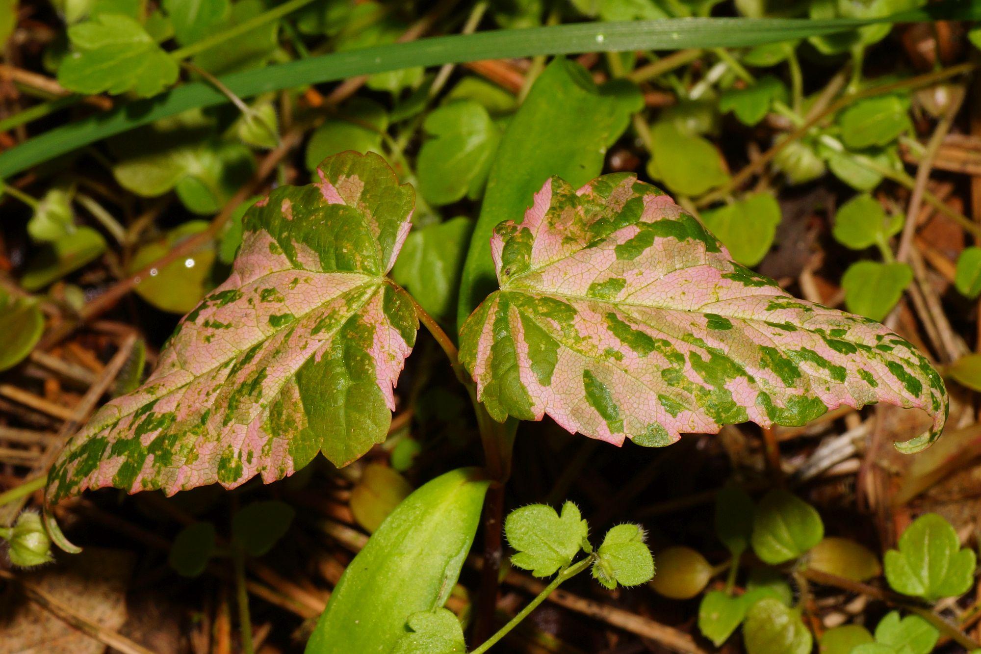 Acer pseudoplatanus L. | Zaailing, aangetast door virus