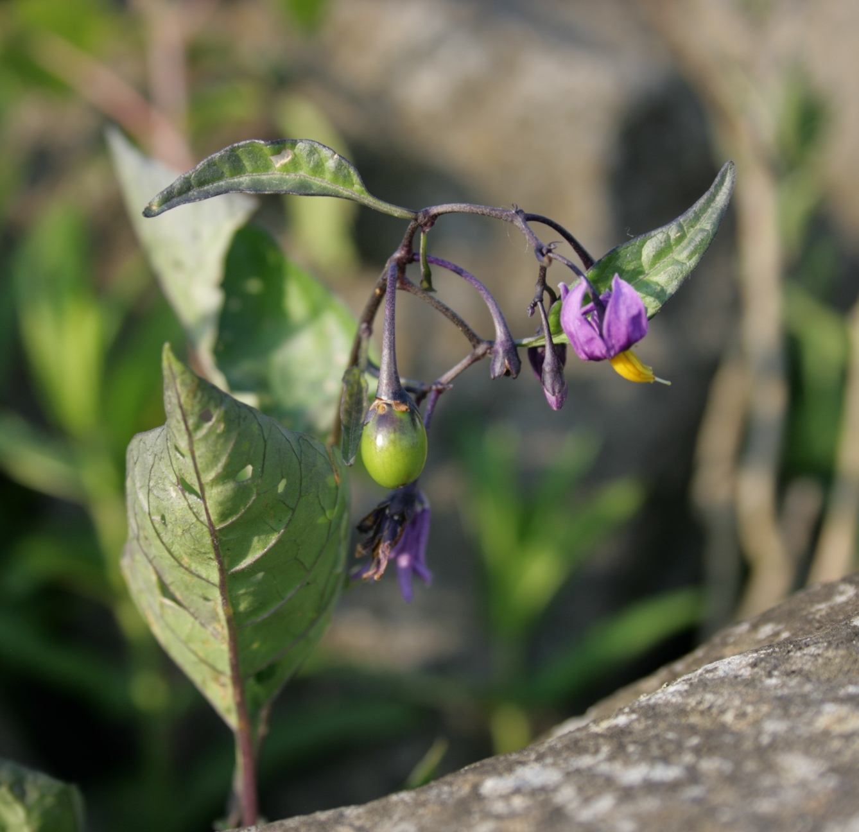 Solanum dulcamara L. | Bloem en vruchten