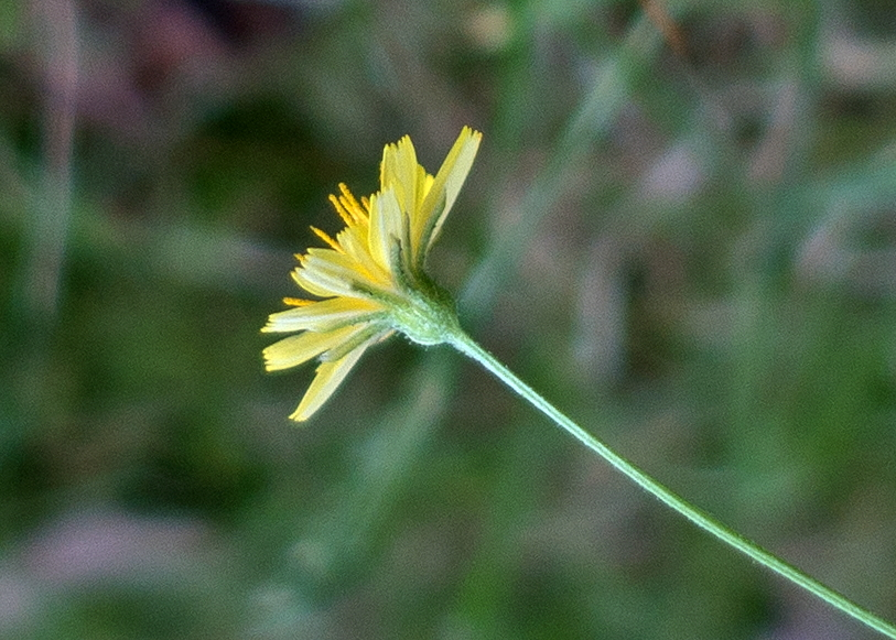 Crepis capillaris (L.) Wallr.