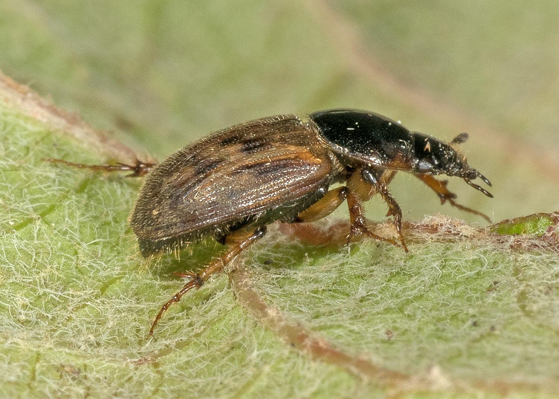 Aphodius contaminatus (Herbst, 1783)