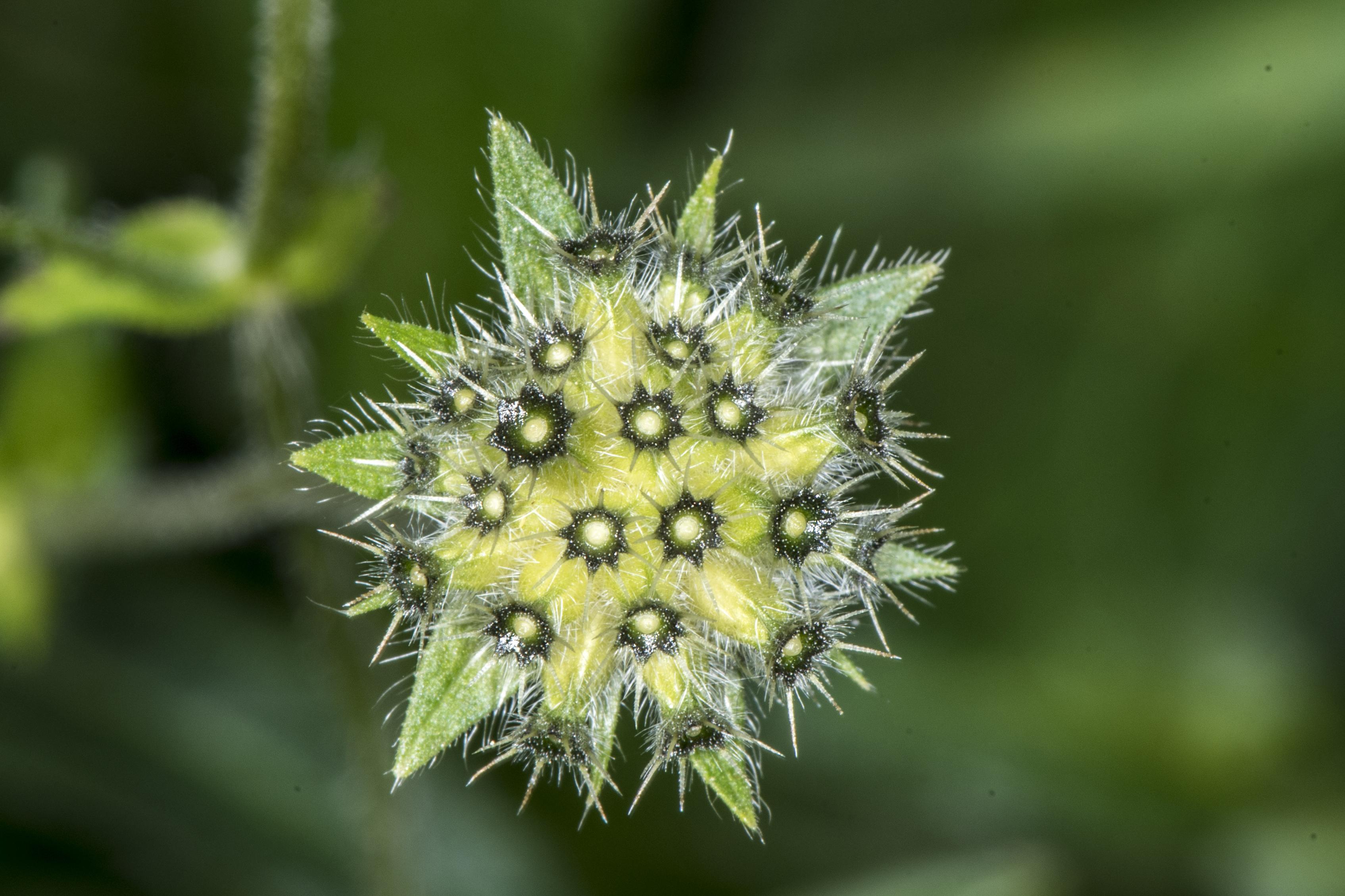 Knautia arvensis (L.) Coult.