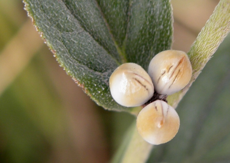 Lithospermum officinale L.