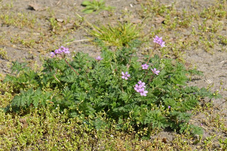 Erodium cicutarium (L.) L'Hér.
