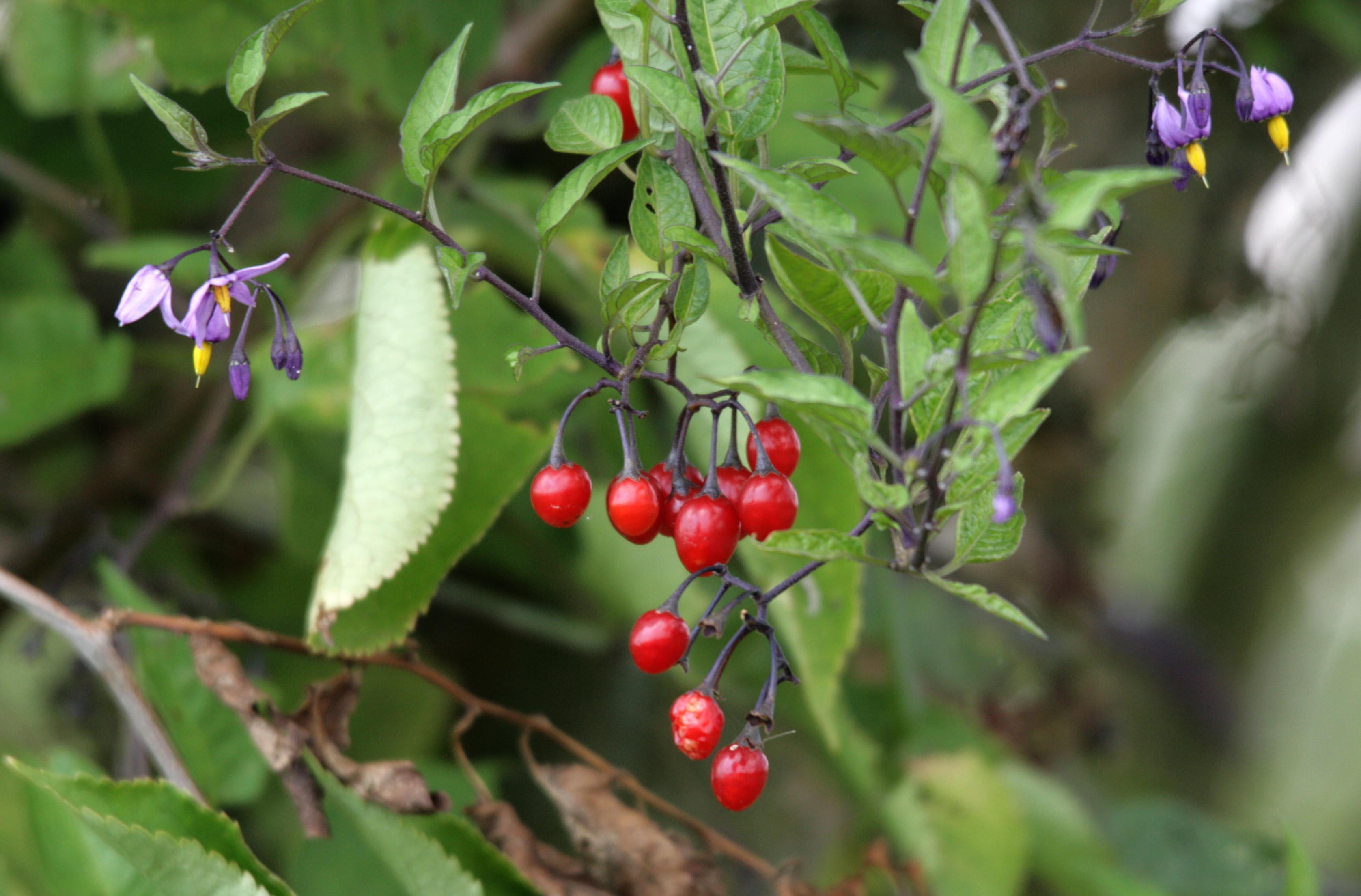 Solanum dulcamara L. | Bloeiwijze met bessen