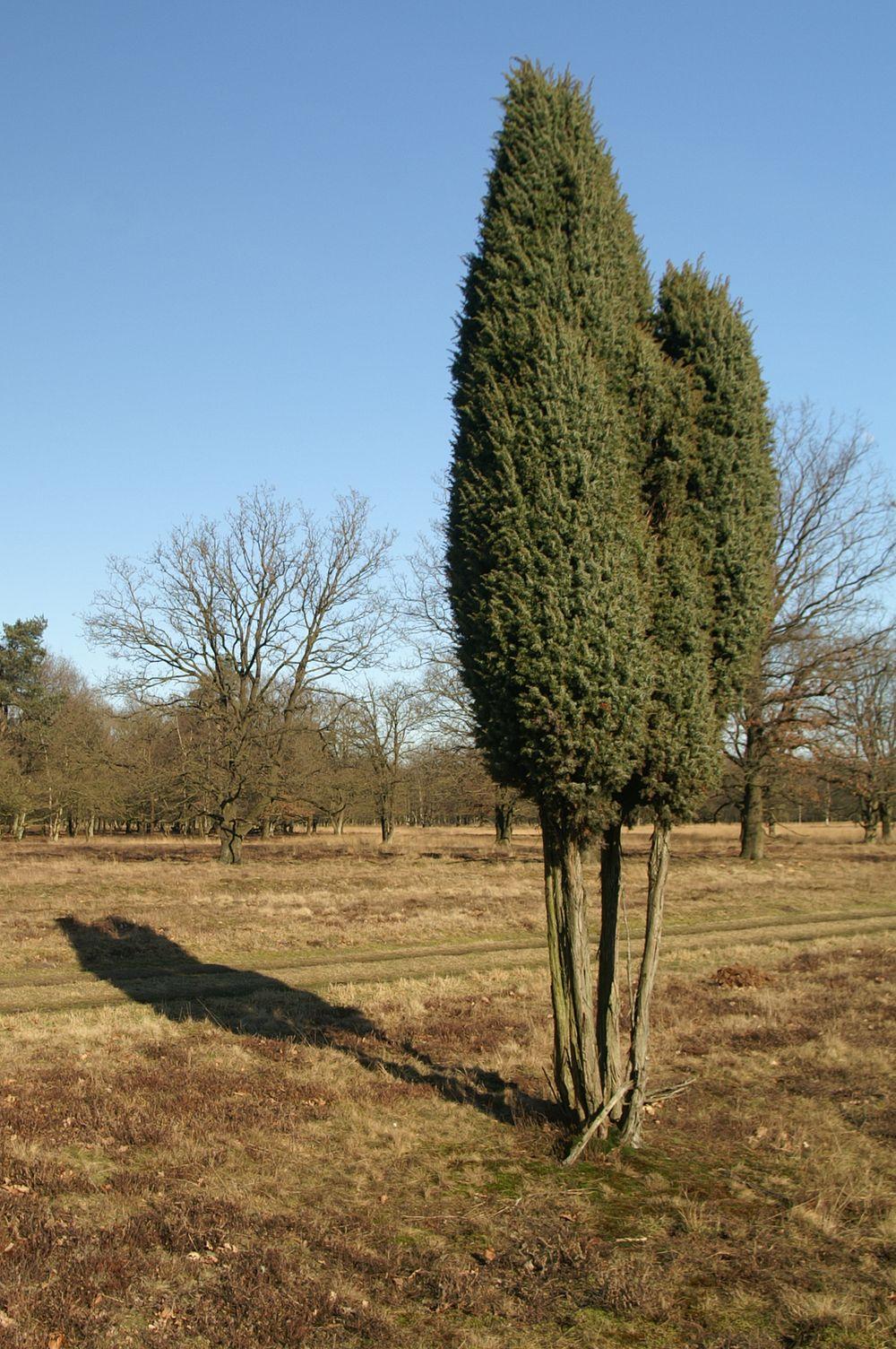 Juniperus communis L.