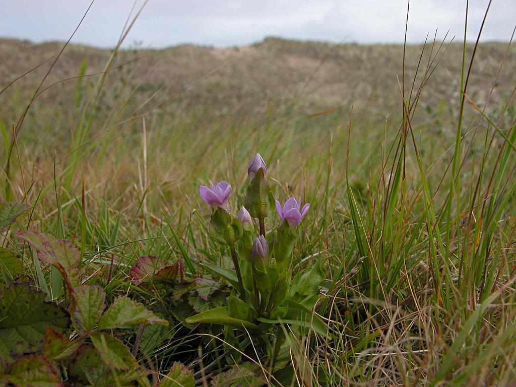 Gentianella campestris (L.) Börner