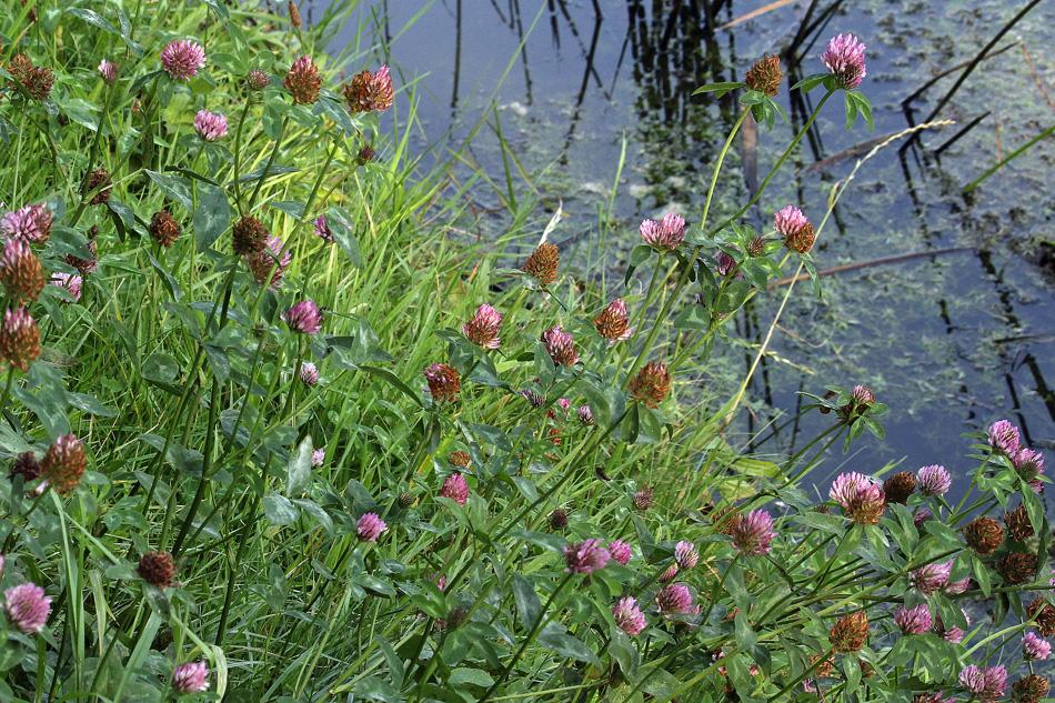 Trifolium pratense L.