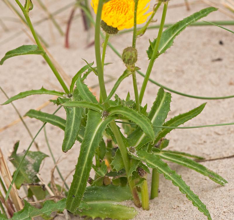 Sonchus arvensis maritimus G.Mey.
