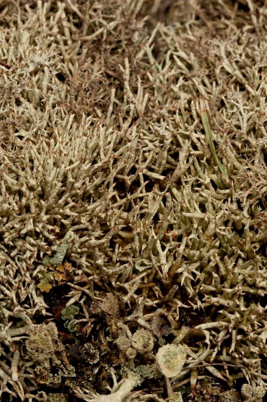 Cladonia uncialis (L.) Weber ex F.H. Wigg.