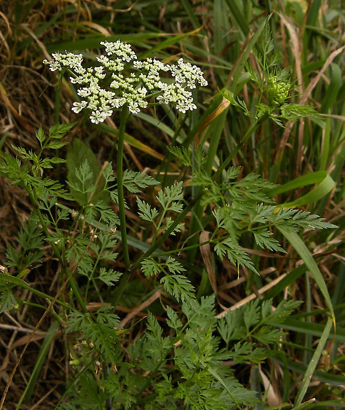 Aethusa cynapium L.