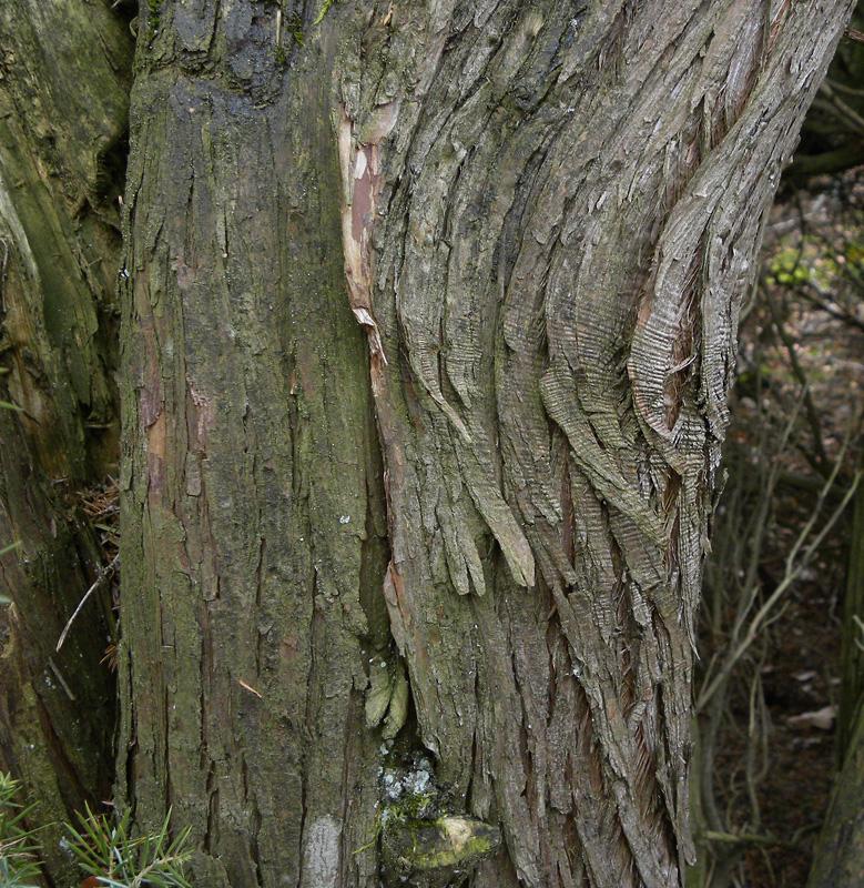 Juniperus communis L. | Schorsbeeld