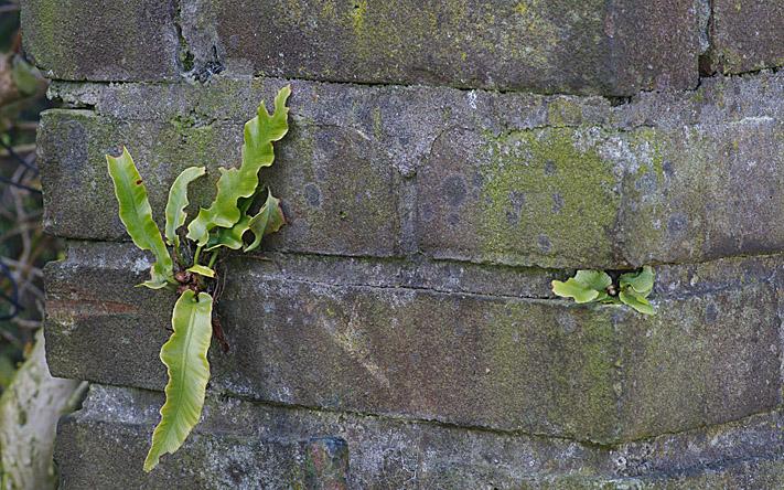 Asplenium scolopendrium L.