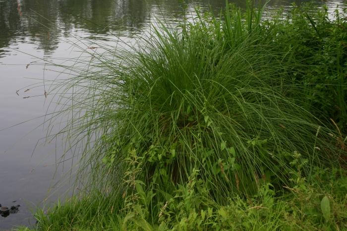 Carex paniculata L. | Overzicht grote pol