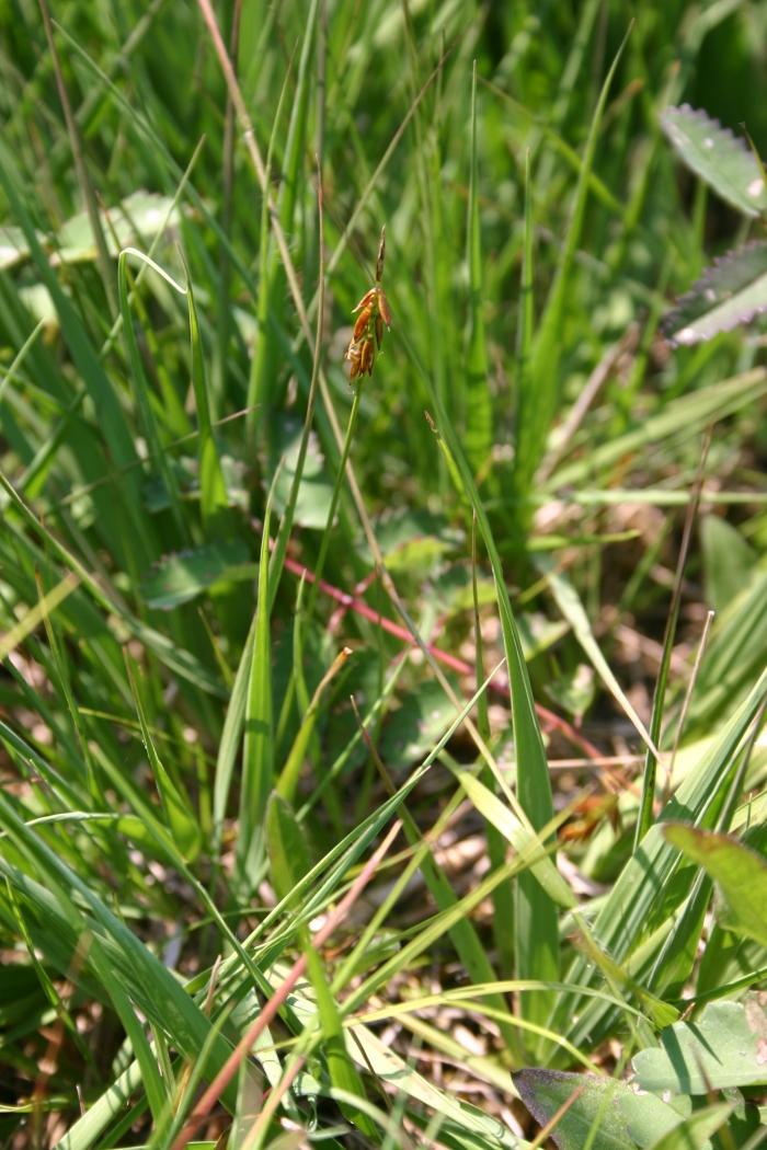 Carex pulicaris L. | 1 plant