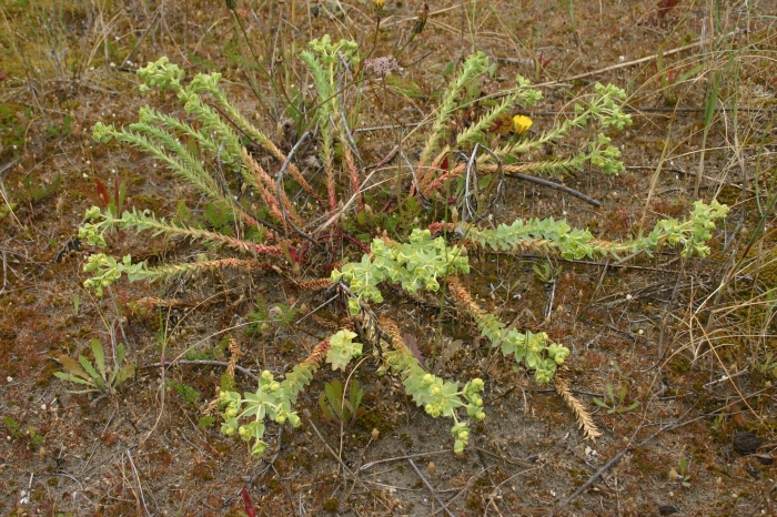 Euphorbia paralias L. | Overzicht