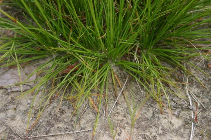 Juncus squarrosus L. | Grondbladen