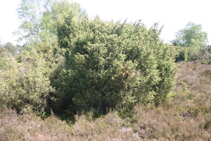 Juniperus communis L. | Overzicht volwassen struik