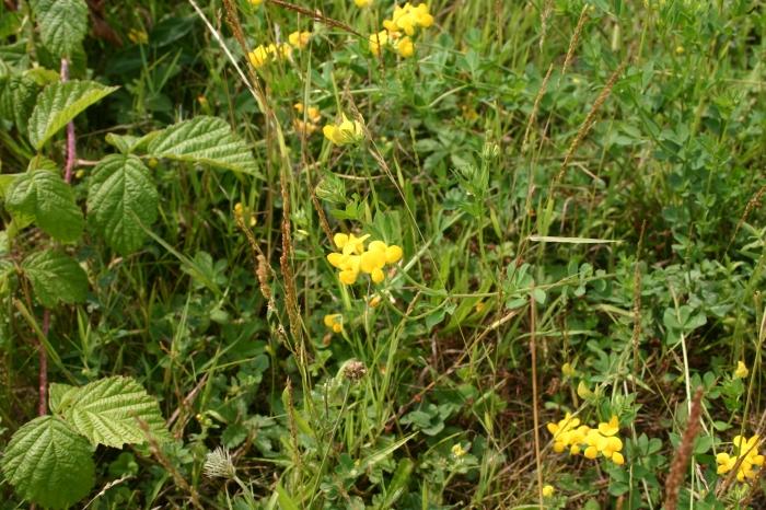 Lotus corniculatus L. | Overzicht