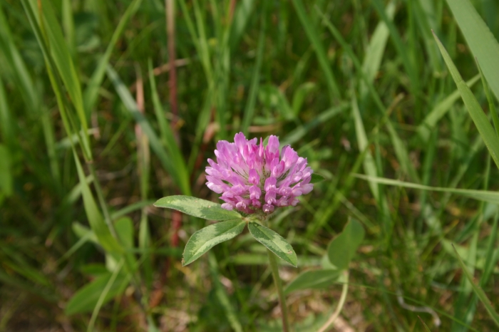 Trifolium pratense L. | Bloemhoofdje