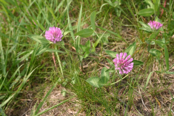 Trifolium pratense L.   Overzicht