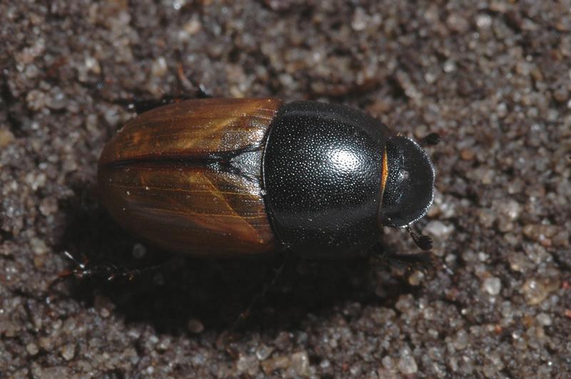 Aphodius erraticus (Linnaeus, 1758)