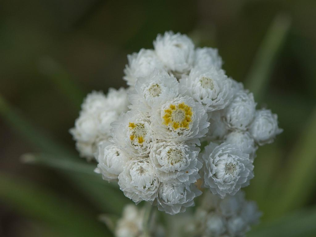 Anaphalis margaritacea (L.) Benth. & Hook.f.