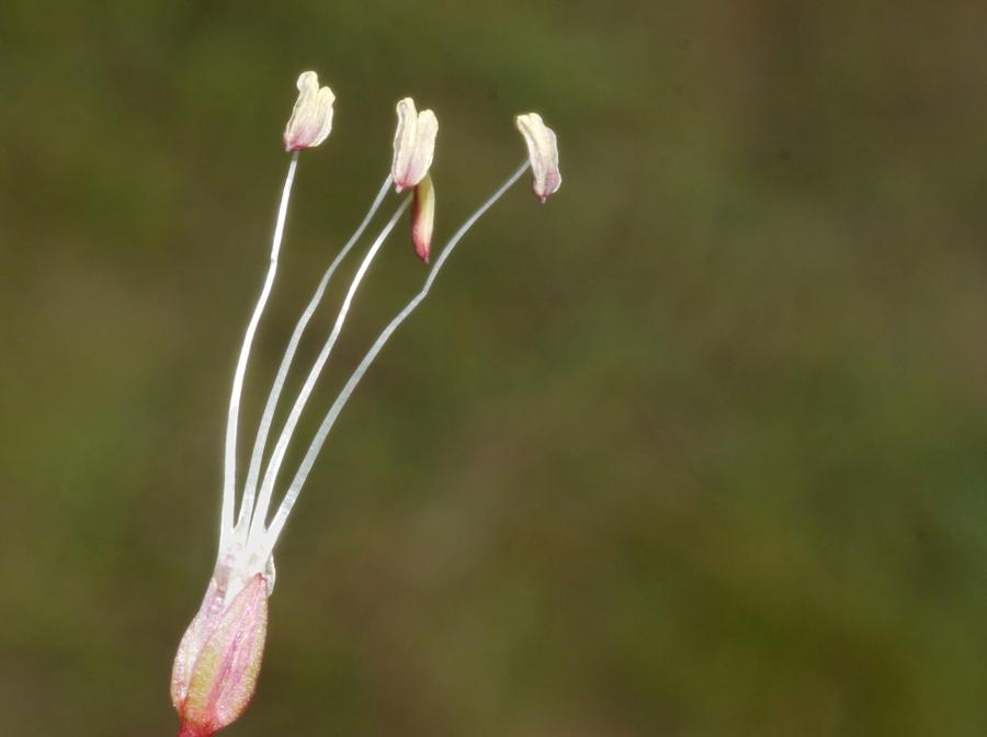 Littorella uniflora (L.) Asch.