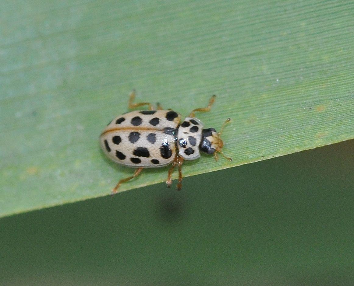 Anisosticta novemdecimpunctata (Linnaeus, 1758)