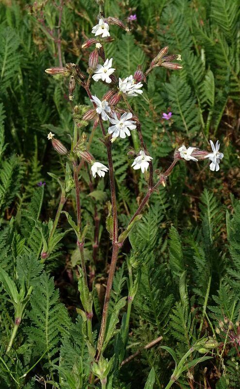 Silene latifolia alba